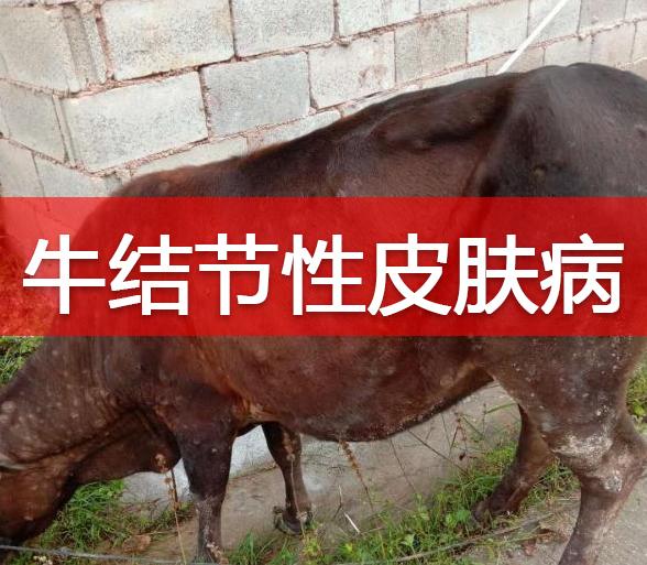 兽医管理 | 一起牛结节性皮肤病案例的处置评析