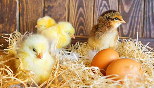 家禽孵化技術