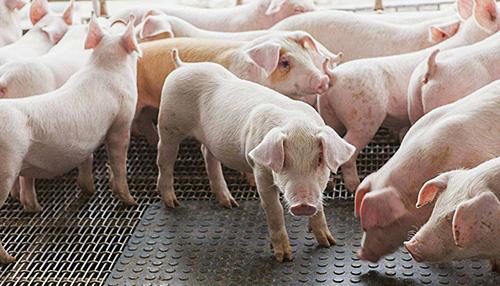 猪的生产与经营