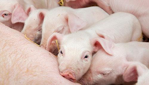 猪繁殖技术