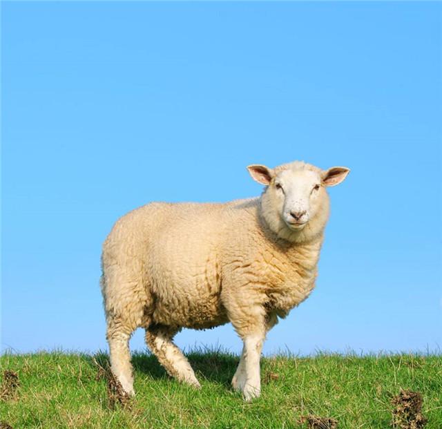 堪称牛羊的第一胃,一旦病了,影响食欲、消化,甚至会致命