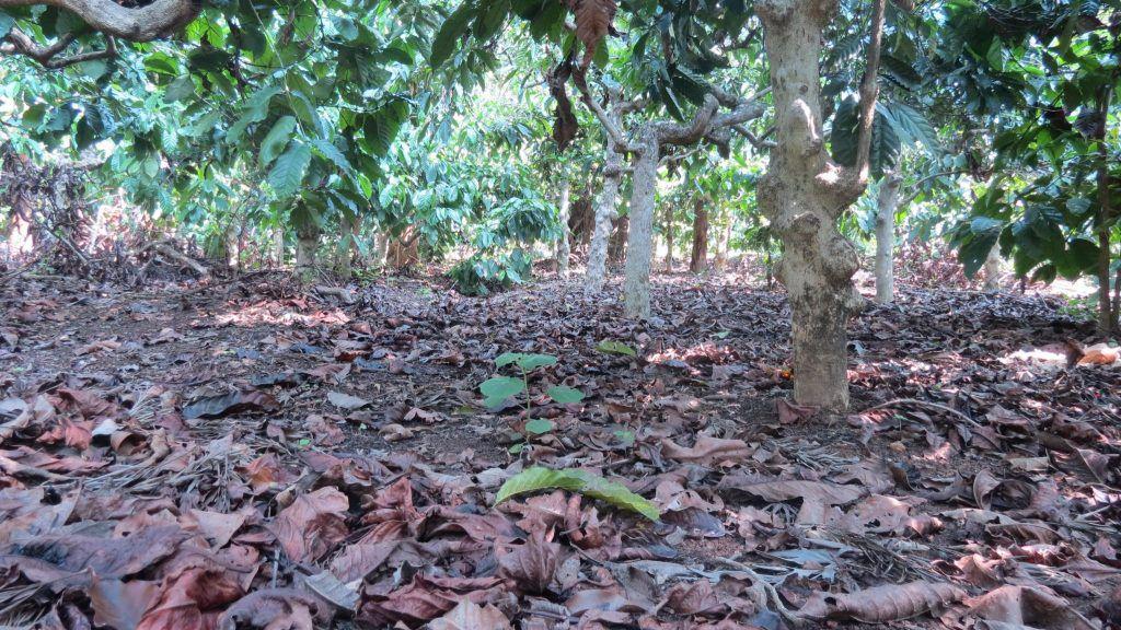 咖啡生豆学02:咖啡园管理技术:遮荫VS全日照