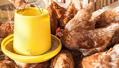 鸡的无公害饲养技术