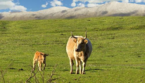 牛繁殖技术