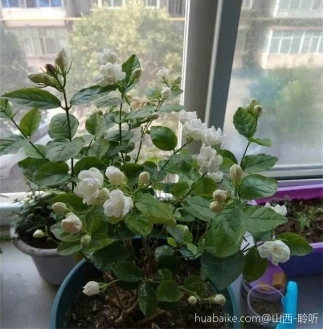 花卉种植技术:这20种花,一开就是上百天,阳台一年四季有花赏